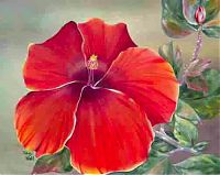 oil holy hibiscus